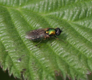 30.05.2012 Hoverfly with blue abdomen (2)