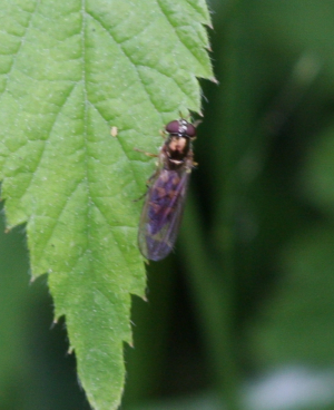 06.06.2012 Hoverfly