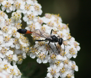 Ammophila Pubescens Wasp maybe