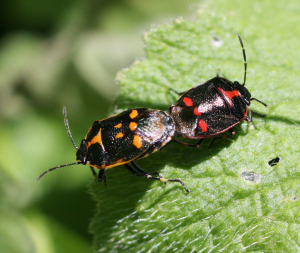 Brassica Shieldbugs