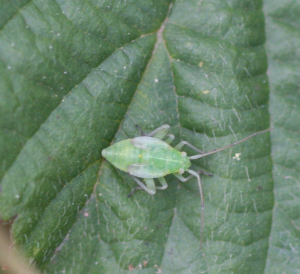 Leaf Bug Nymph