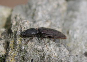 Anthous Click Beetle