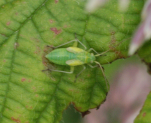 Mirid leaf bug nymph