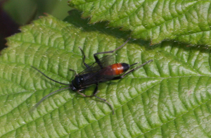 05.07.2012 Red-banded wasp