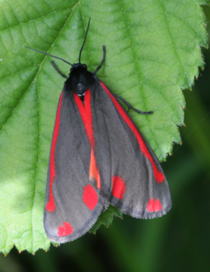 Cinnabar moth and caterpillar