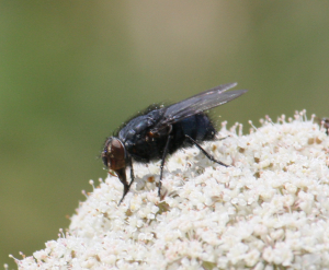 11.07.2012 Blue-tailed fly for ID