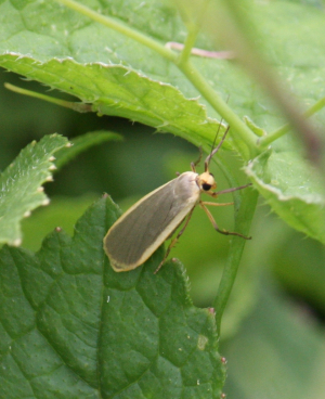 Moth - Footman - Lurid