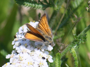 Butterfly - Skipper - small