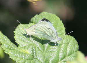 Butterfly - Gree-veined white