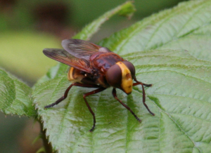 Hoverfly - for ID - Volucella zonaria