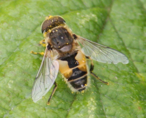 Hoverfly - for ID