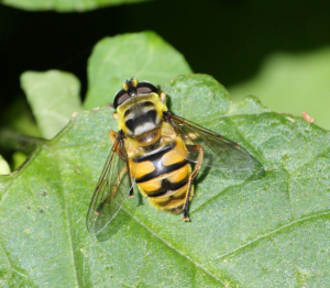 Hoverfly - Florea