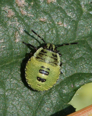 Shieldbug - Green - nymph