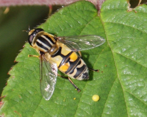 Hoverfly - Helophilus (4)
