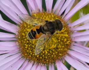 Hoverfly - Volucella