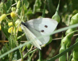 Butterfly - Small white