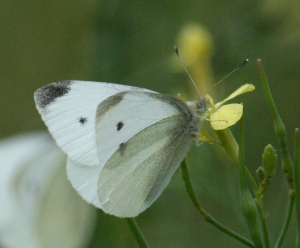 Butterfly - Small or Large white