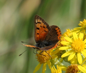 Butterfly - Small copper