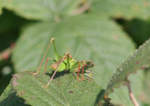 Cricket - Speckled bush
