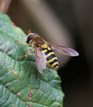 Hoverfly - Syrphus maybe