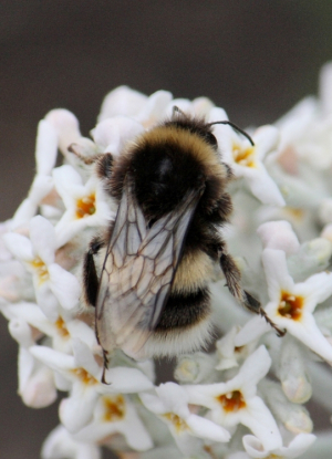 Bumblebee - White-tailed