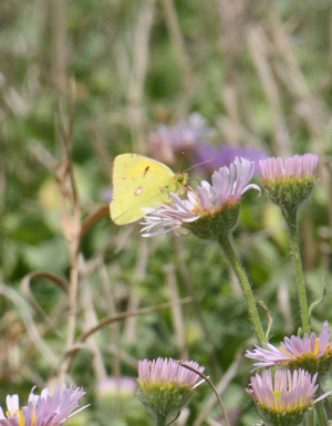 Butterfly - Clouded Yellow