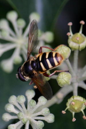 Hoverfly - Corollae