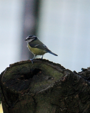 Bird - Blue Tit