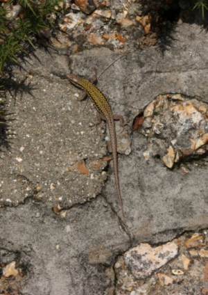 Common wall lizard (young adult)