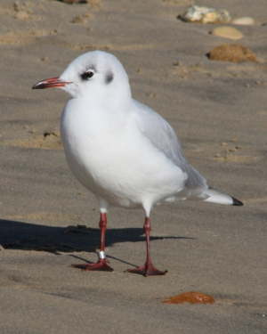 Bird - Black-headed gull [winter plumage]
