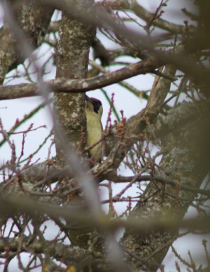 Bird - Green woodpecker