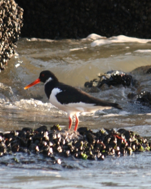 Bird - Oystercatcher