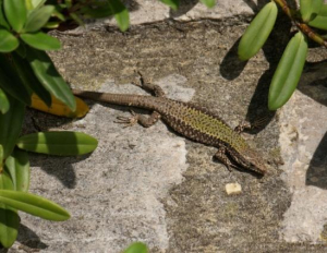 Common Wall Lizards