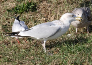 Bird - Herring Gulls