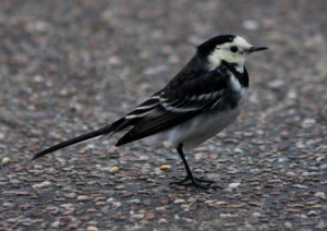 Bird - Pied Wagtail