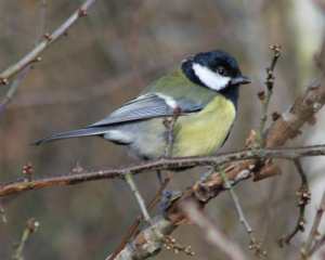 Bird - Great Tit