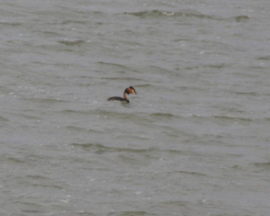 Bird - Great Crested Grebe