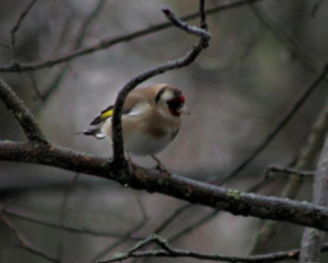 Bird - Goldfinch