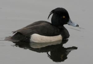 Bird - Tufted Duck [M]