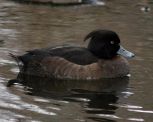 Bird - Tufted Duck [F]