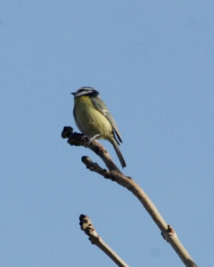 Bird - Tit - Blue