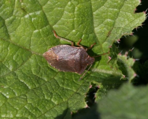 Green Shieldbugs