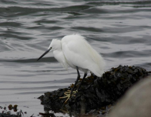 Bird - Little Egret