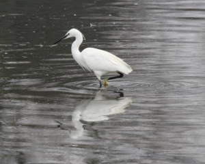08.03.2013 Bird - Little Egret