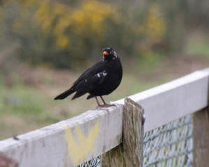Bird - Blackbird