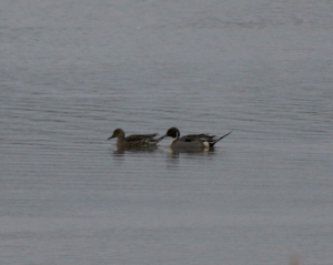 Bird - Pintail