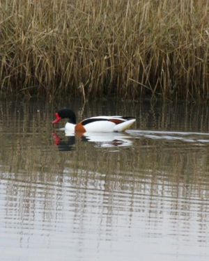 Bird - Shelduck