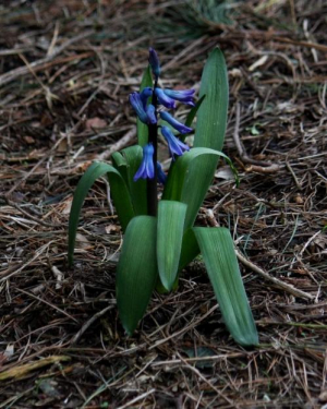 Plant - Bluebell