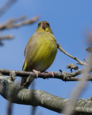 Bird - Greenfinch