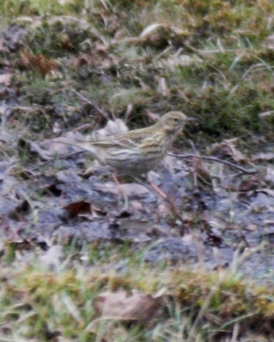 Bird - Meadow Pipit
